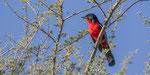 Rotbauchwürger / Crimson crested Shrike
