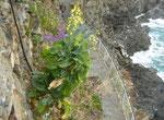 Brassica oleracea / Gemüse-Kohl
