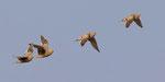 Namaqua Sandgrouse / Namaflughuhn