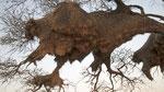 Nester Sociable Weaver / Siedelweber