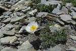 Seguiers Hahnenfuss / Ranunculus seguieri