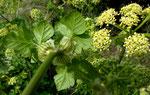 Kretische Gelbdolde / Smyrnium creticum, obere Blätter stengelumfassend