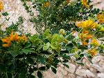 Strauch-Schneckenklee / Medicago arborea   im ganzen Mittelmeerraum vorkommend