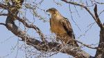 Savannenadler / Tawny Eagle