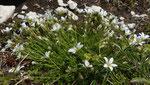 95: Grossblütiges Sandkraut / Arenaria grandiflora / Chasseral 25.6.2020