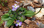 Malcolmia chia \ Chios-Malcolmie     häufig auf Kreta, auch auf dem Balkan vorkommend