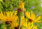 Weiden-Alant / Inula salicina