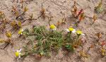 017-Mesembryanthemum nodiflorum  Anacyclus maroccanus