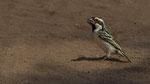 Acacia Pied Barbet / Rotstirn-Bartvogel