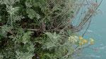Weissfilziges Greiskraut / Jacobaea maritima subsp. bicolor,  typisch an Küstenfelsen im Mittelmeerraum