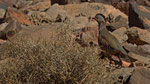Felsenhuhn - Barbary Partridge