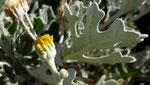 Weissfilziges Greiskraut / Jacobaea maritima subsp. bicolor