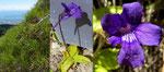 105 : Grossblütiges Fettblatt / Pinguicula grandiflora ssp.grandiflora / La Dôle 27.6.2020