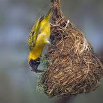 Maskenweber / Southern Masked Weaver