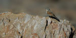 Cape Bunting / Kapammer