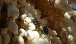 036-Dattelpalme mit Bienenbestäubung