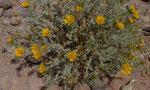099-Anvillea garcinii subsp. radiata