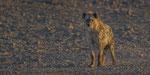 Tüpfelhyäne / Spotted Hyena