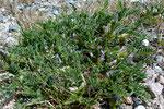 Dorniger Tragant / Astragalus sempervirens