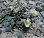 Herzblatt-Hahnenfuss / Ranunculus parnassifolius