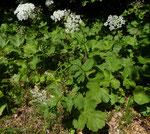 51 : Jura-Wiesen-Bärenklau / Heracleum sphondylium ssp. alpinum / Souboz 1.6.2020