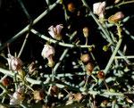 072-Acanthorrhinum ramosissimum
