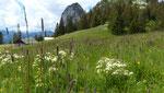 75 - 77 : Bärenwurz / Meum athamanticum ! Alp Äbnet oberhalb Boltigen 18.6.2020