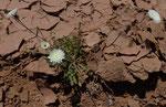 106-picris coronopifolia