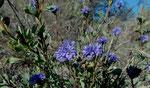 Strauchige Kugelblume / Globularia alypum,  blüht Okt. - April,   bis 1.5 m hoch,  im ganzen Mittelmeerraum vorkommend