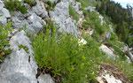 66 : Ysopblättriges Gliedkraut / Sideritis hyssopifolia / La Dôle 12.6.2020