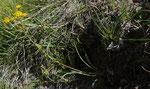 Grasblättriges Hahnenfuss-Hasenohr / Bupleurum ranunculoides ssp.caricinum