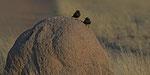 Southern Anteater-Chat / Termitenschmätzer