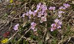 87 und 88 : Fleischroter Mannsschild / Androsace puberula / Tufternalp ob Zermatt 24.6.2020