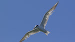 Eilseeschwalbe / Greater Crested Tern