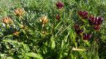 Gentiana punctata × purpurea / Tortin 9.8.2020