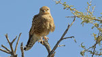 Steppenfalke / Greater Kestrel