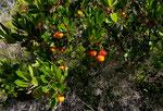 Westlicher Erdbeerbaum / Arbutus unedo
