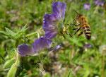 19 - 24 : Brauner Storchschnabel / Geranium phaeum / Les Plans sur Bex 10.5.2020