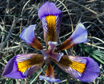 Kretische Schwertlilie / Iris unguicularis,  in dichtem grasartigem Blattteppich, Verbreitungsgebiet : Griechenland, Türkei,Libanon,Tunesien,Algerien