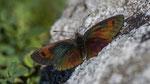 Schillernder Mohrenfalter (Erebia tyndarus) Maderanertal 24. Juli 2018