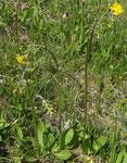 27 und 28 : Trauben-Pippau / Crepis praemorsa / Diemtigen 21.5.2020