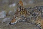 Schabrakenschakal / Black - backed Jackal