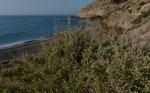 Strauch-Melde / Atriplex halimus, an salzhaltigen Stellen, im ganzen Mittelmeerraum vorkommend