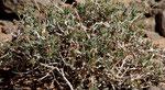 118-Gymnocarpos decander  Nacktfrucht-001
