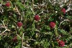Dornige Bibernelle / Sarcopoterium spinosum   im ganzen Mittelmeerraum vorkommend