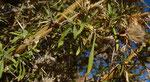 083-Carthamus fruticosus