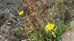 Bittere Reichardie / Reichardia picroides, blüht ab Februar,  sehr häufig