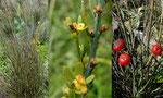 Osyris alba \ Weißer Harnstrauch oder Honigduftender Rutenstrauch,  bis 1,5 m hoch,   im ganzen Mittelmeerraum