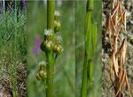 Sumpf-Dreizack / Triglochin palustris
