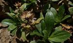 Echte Strauchscharte / Staehelina fruticosa,  Herbstblühend in Kalkfelsspalten     nur in Griechenland
